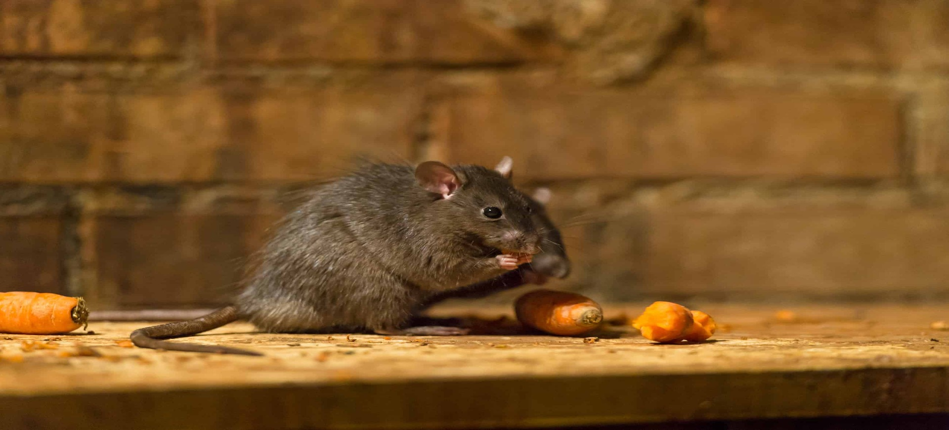 ratas en mataro