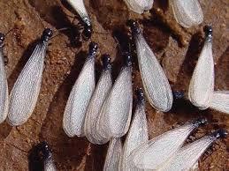 Empresa de fumigacion de termitas en el Maresme