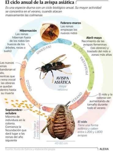 ciclo vida avispa asiatica